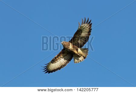 Buzzard flying high in a clear blue sky over southern England