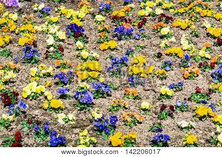 Nice Mixed Pansies in the gread flowerbed