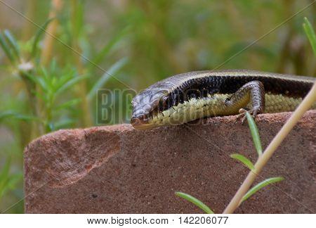 Macro of chameleon or lizard in garden. Beautiful and elegant Reptile.