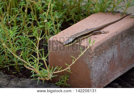 chameleon or lizard in garden. Beautiful and elegant Reptile.