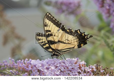 An eastern Tiger Swallowtail (Papilio glaucus), shown in left profile, feeding from a cluster of Butterfly Bush blossoms in Maryland, USA.