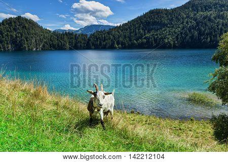 Goat grazing near a mountain lake, Austria