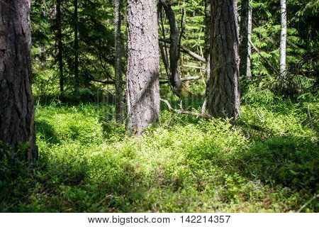 Summer Forest Trees. Nature Green Wood Sunlight Backgrounds