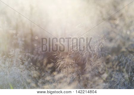 Grass and sunlight (backlight) in the evening (abstract background)