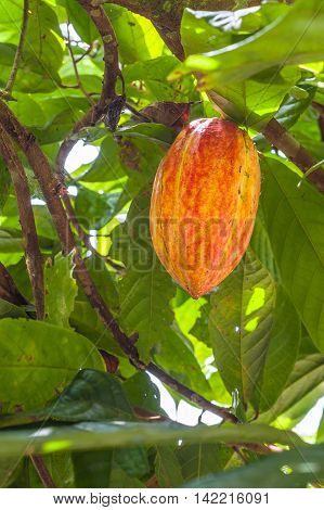 Cacao plant with fruits in the ecuadorian plantation