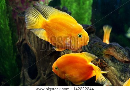 The bright parrot fishes are in an aquarium