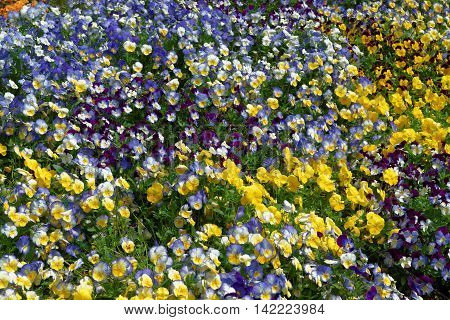Bright And Colorful Pansies And Violas In The Flowerbed