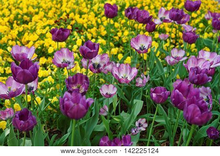 Purple Tulip Flower Bed Among Other Flowers Washington
