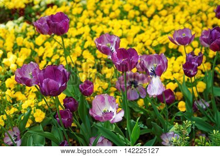 Purple Tulip Flowerbed Among Other Flowers Washington Dc