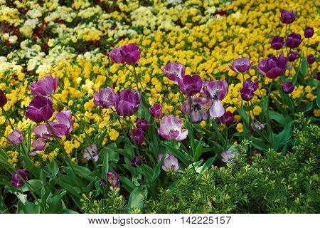 Purple Tulips Among Other Flowers Washington Dc