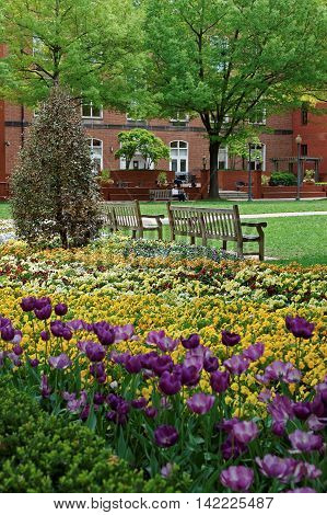Tulip And Pansy Flowerbed In The George Washington University Campus