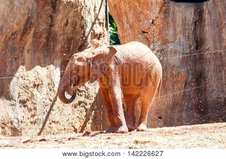 African Baby Elephants Playing Soi.