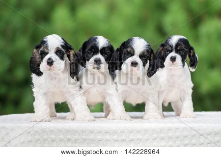 adorable american cocker spaniel puppies outdoors in summer