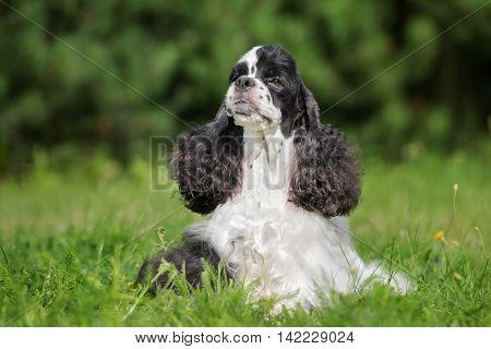american cocker spaniel dog posing outdoors in summer