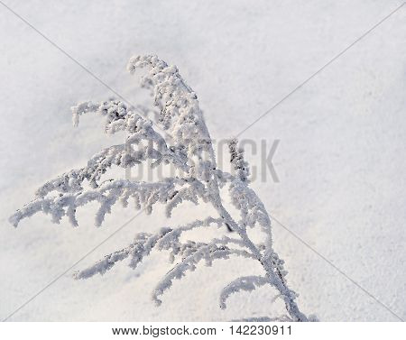 Hoarfrost rime on a branch dry grass snow covered in sunlight frost and sun - winter background