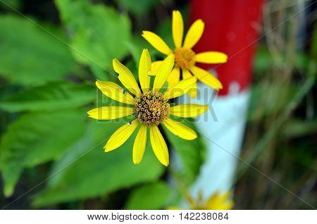 macro of yellow jacobia vulgaris flower blossom