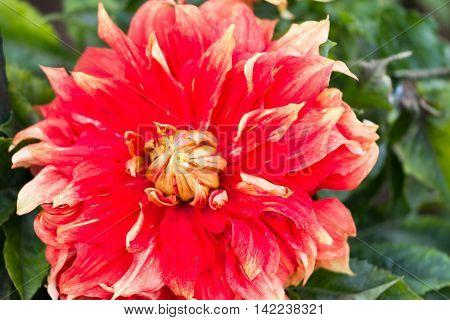 Macro of a red dahlia - cultivar Autumn sunburst
