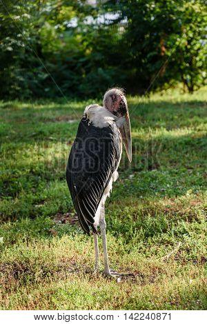 Marabou Stork African Bird Standing Up