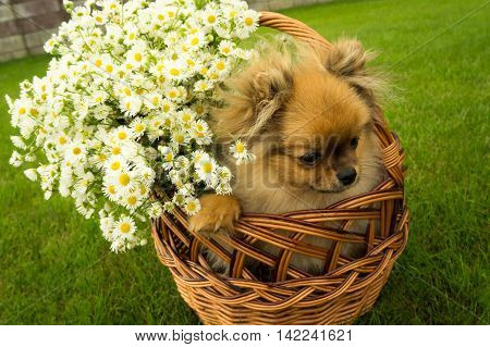 Spitz puppy in basket with daisies on background of green grass