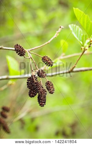 Dry brown alder cones on green background