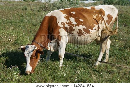 White and brown cow grazing in a meadow on a summer day.