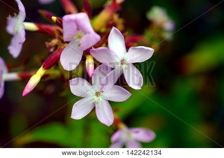 Pink inflorescence of Common centaury Botanical photo