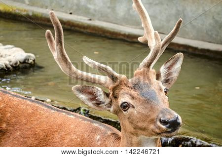Young spotted, red-headed deer with new velvety horns in water