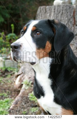 Greater Swiss Mountain Dog (Vert)