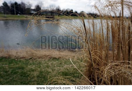 Chinese silver grass (Miscanthus sinensis var. gracillimus), also called Eulalia grass, maiden grass, zebra grass, Susuki grass, and porcupine grass, growing next to a small lake in Joliet, Illinois.
