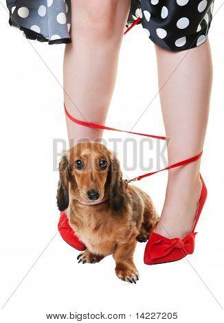 Tangled Dachshund Dog