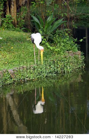 Storks On Island Penang.