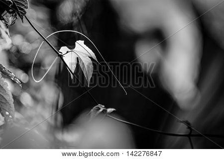 portrait of leaf of climber with light drop on leaf,selective focus,blurred background