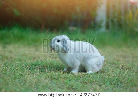 Cottontail bunny rabbit eating grass in the garden with morning light soft focus.