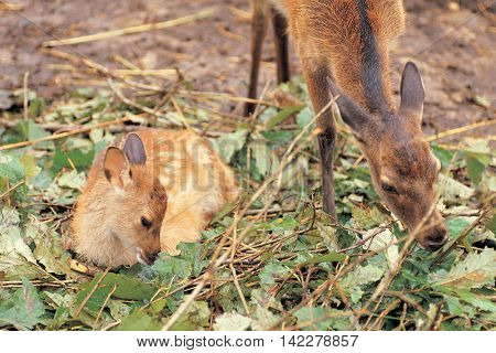 Mother deer and cub