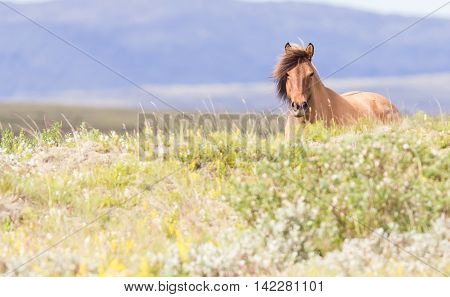 Brown Icelandic Horse