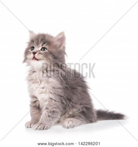 Cute fluffy kitten isolated on a white background