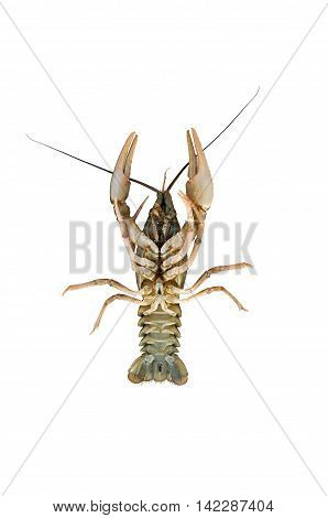 Inverted large crayfish isolated on white background