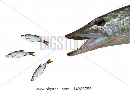 chasing pike fish isolated on white background