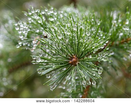 Morning dew in the forest on the needles of pine