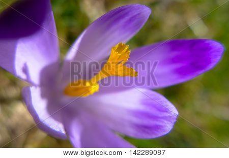 Detail of violet crocus on meadow. Springtime
