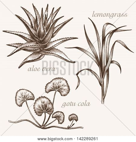 Set of vector images of medicinal plants. Biological additives are. Healthy lifestyle. Aloe vera lemongrass gotu cola.