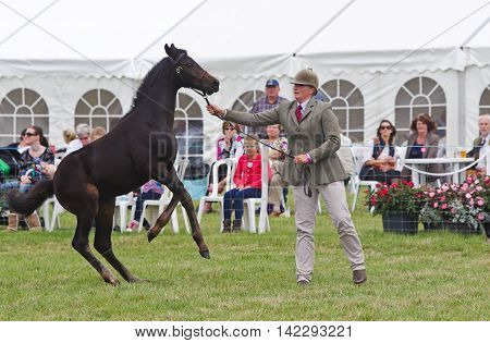 WEEDON, UK - AUGUST 28: A young nervous horse is gradually led around the arena for the judges to assess in the Young Horse competition at the Bucks County show on August 28, 2014 in Weedon.