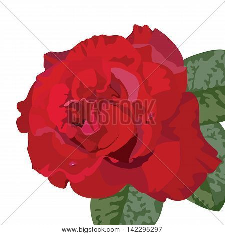 Delicate Red Rose isolated. Vector rose flower for background greeting cards and invitations of the wedding birthday Valentine's Day Mother's Day