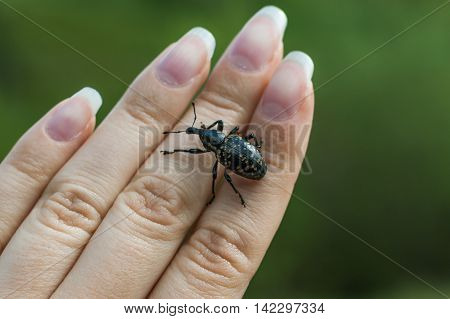 weevil is crawling on a woman hand close up