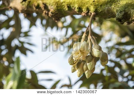 Bunch of durian flower on durian tree