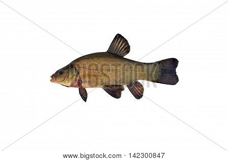 big fish tench isolated on white background