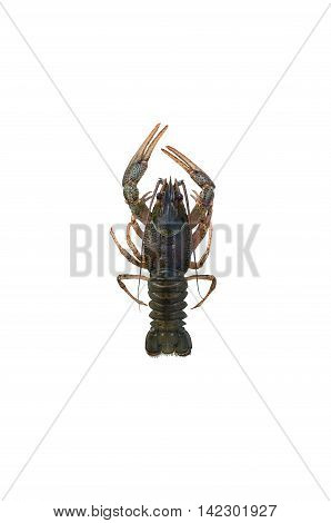 large crayfish with claws isolated on white background