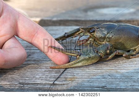 crayfish tweaks hand finger against the background of the board