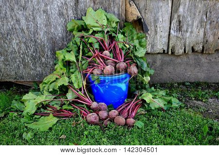 overflowing pail of deep red garden beets