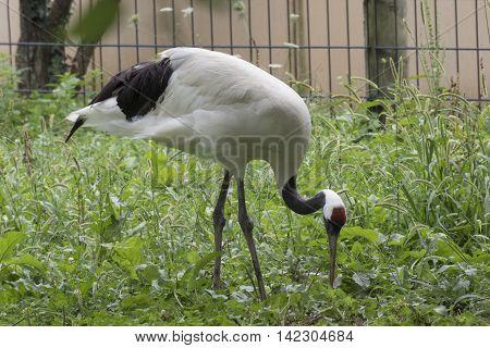 manchurian cranes bird walk in the farm